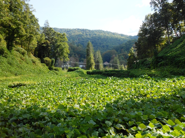 Another view of the kudzu.