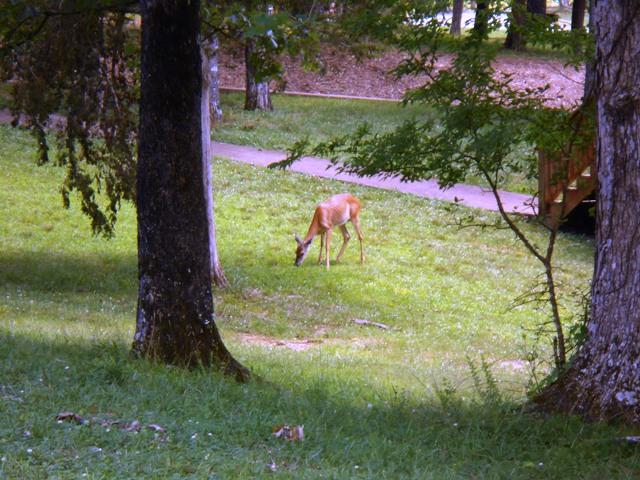 A little deer grazing close by.