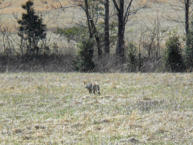 It's a fox enjoying the pasture!